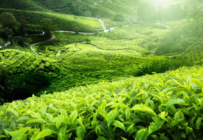 Tea plantatio
