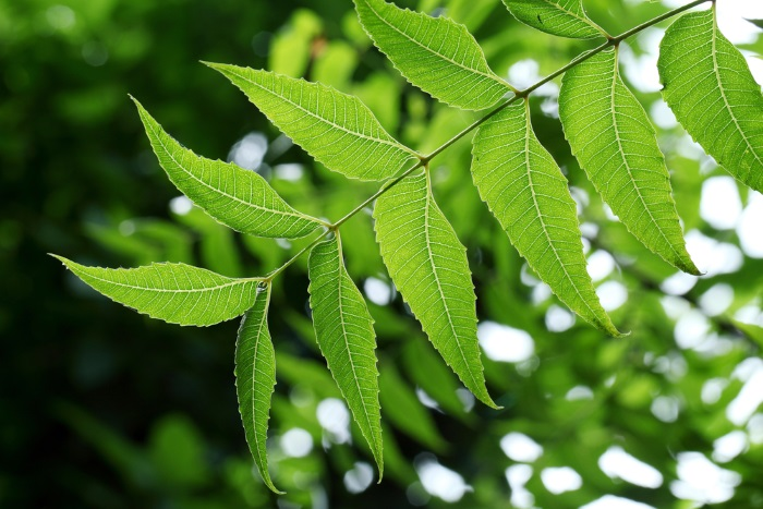 Neem oil for acne
