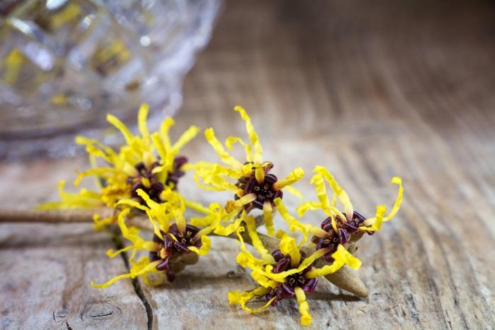 witch-hazel-flowers